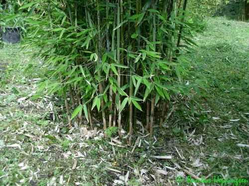 großen bambus kaufen