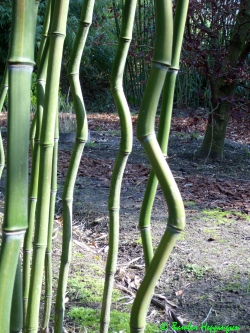 phyllostachys aureosulcata. Black Bedroom Furniture Sets. Home Design Ideas