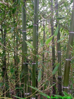 phyllostachys parvifolia. Black Bedroom Furniture Sets. Home Design Ideas