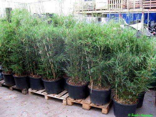 Zebra Bambus Fargesia robusta /'Campbell/' Hoher Heckenbambus